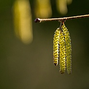 Backlit Catkins