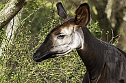 Okapi Female Side Profile Close Up