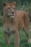 Lioness Standing Tall