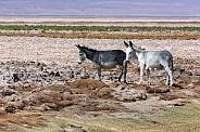 Wild Donkey on the Atacama salt flats, Chile.