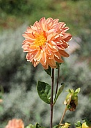 Pale Orange Dahlia Flower