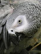 African grey parrot hiding under wing