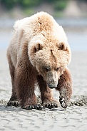 Wild Alaskan brown bear on a beach