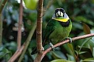 Green Barbet Bird Full Body