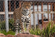 Female Jaguar Standing Alert On Rock