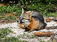 Florida Gray Fox