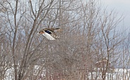 Female Mallard Duck Flying