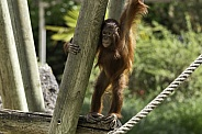 Bornean Orangutan Youngster On Climbing Frame