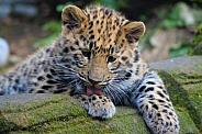 Young Amur Leopard