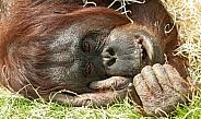 Bornean Orangutan Lying Down Close Up