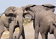 Elephants fighting - Etosha National Park - Namibia