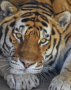 Amur Tiger Close
