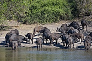 Herd of Buffalo (Syncerus caffer)