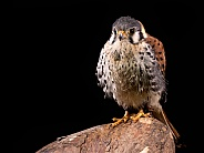 American Kestrel Full Body Black Background