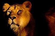 Sunset Lioness