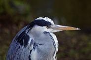 Grey Heron Close-up