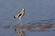 African Wattled Lapwing - Botswana