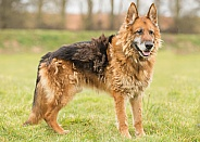 Elderly German Shepherd