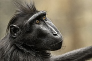 Sulawesi Crested Macaque Face Shot