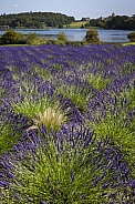 Field of Lavender - North Yorkshire - England