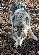 Canadian Wolfdog