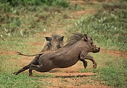 Young Warthogs Fighting