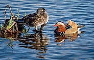 Mandarine Duck and Wood Duck