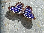 Myscelia Cyaniris Royal Blue Butterfly