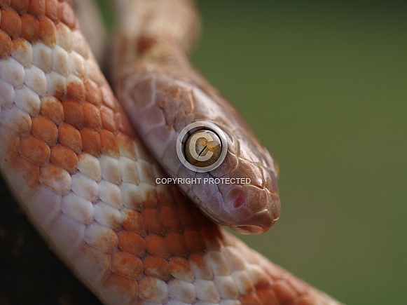 Northern Tree Snake
