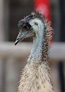 Australian Emu
