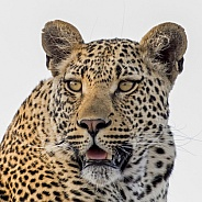 Leopard Portrait (Male)