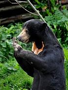 Sun Bear (Helarctos malayanus)