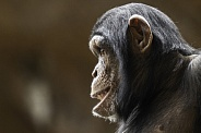 Young Chimpanzee Side Profile