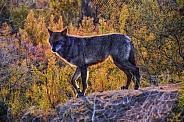 Wolf - Black Tundra Wolf