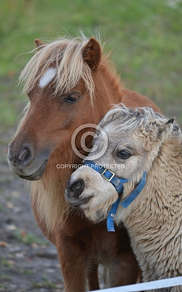 Pony mother and foal