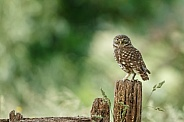 Little Owl  (Athene noctua)