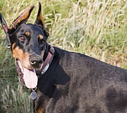 Doberman in the sun