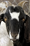 Goat looking straight ahead