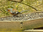 Male chaffinch feeding