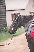 Black Anglo Arab Horse