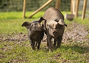 Rare Large Black Pigs - Gilt and Weaner