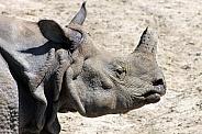 Greater one-horned rhinoceros (Rhinoceros unicornis)