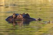 Hippopotamus - Botswana