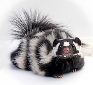 Spotted Skunk on White Background