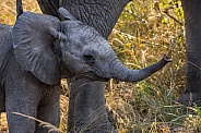 Young African Elephant calf