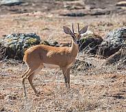 Steenbok Antelope