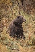 Alaska Bear 5