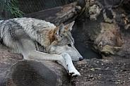 Grey Wolf Resting
