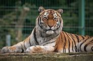 Amur Tiger Lying Down