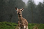 Female Red 'Rain' Deer